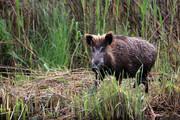 تصاویر | نیزارهای زریبار زیستگاه خوک وحشی