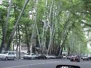 زخم درختان خیابان ولیعصر(عج) درمان میشود
