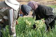 تصاویر | برداشت گل نرگس از مزارع خوسف
