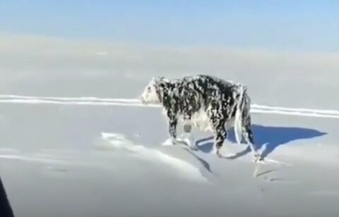 ببینید | گاوی که از شدت سرما ایستاده یخ زد