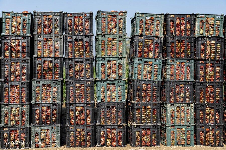 برداشت گوجه فرنگی - بوشهر