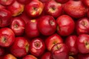 صادرات سیب مراغه آغاز شد