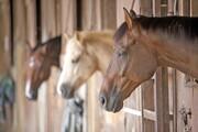 اختصاص خط اعتباری ویژه برای پرورش اسب و شتر
