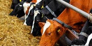 راهاندازی فناوری انتقال جنین تولید گوسالههای ممتاز