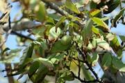 قطع درختان گردو در بحرآسمان جیرفت صحت ندارد