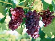 رونمایی از ۲ رقم انگور جدید مقاوم به سرما در قزوین