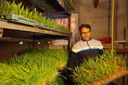 راهاندازی کارگاه تولید علوفه به روش بدون خاک در بافق