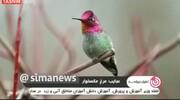 ویدئو   این پرنده یک میلیارد تومان میارزد