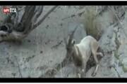 ویدئو | بز کوهی سهپا در دیل
