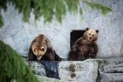بیخوابی زمستانی بچهخرسهای مشهور باغ وحش هلسینکی