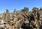 نابودی ۱۰۰ درصدی ۵۰۰ هکتار از باغهای موز زرآباد