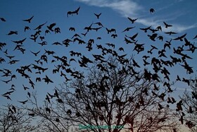طغیان کلاغها در خرمآباد | روزها میروند و شبها به داخل شهر برمیگردند