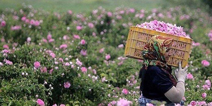 برداشت گل