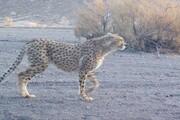 فیروز چهار یوزپلنگ دیگر را به توران کشاند
