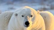 تصاویر | باغ وحش سن دیگو، خرس قطبی مادر و۲ فرزندش بالاخره به خواب رفتند