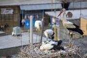 لکلکها در مهاباد از شدت سرما به خانهها پناه بردند