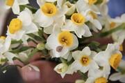 تصاویر | نرگسزارهای گلهدار شهرستان مُهر