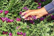 ۶٠ تن انواع گیاهان دارویی در ایرانشهر تولید میشود