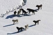 مرد روستایی از محاصره گرگها نجات یافت