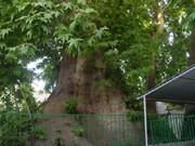 ثبت ۸ درخت کهنسال در فهرست آثار ملی