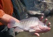 تولید ۱۷۰ تن ماهی تیلاپیا در یزد در ۶ ماه اول ۹۹