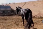 ویدئو | رونق صنعت پرورش اسب در سبزوار