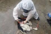 آنفلوآنزای فوق حاد پرندگان به کردستان رسید