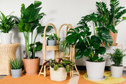 ۱۰ گیاه آپارتمانی لاکچری که باید بشناسید