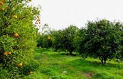 فصل برداشت میوه و سودجویی دلالان در آذربایجانغربی
