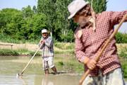 ممنوعیت کشت برنج در شالیزارهای مانه، سملقان و بجنورد برداشته شد