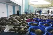 نجات لاکپشتهای دریاییهای گیرافتاده در آبهای اطراف تگزاس| چطور لاکپشتها در دریای سرد فلج میشوند