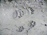گرگها ترجیح میدهند حیوانات وحشی را شکار کنند