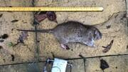کرونا لندن را به جولانگاه موشها تبدیل کرد