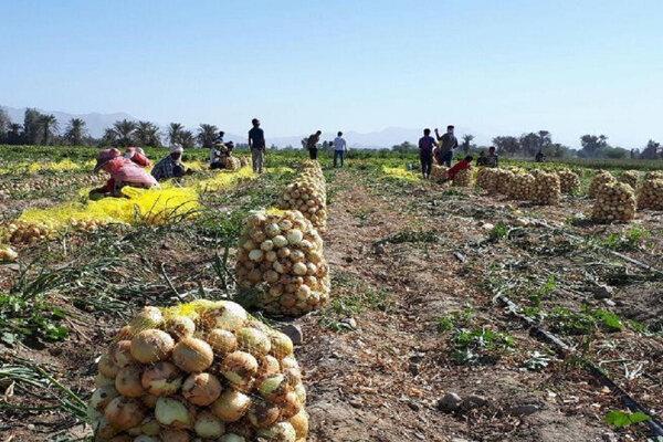 واکنش وزارت جهاد کشاورزی درباره مشکلات پیازکاران در جنوب کرمان   بیش از برنامه ابلاغی کشت شده است