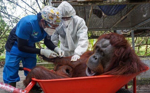 دامپزشکان پیش از رهاسازی و انتقال یک اورانگوتان به جنگل حفاظتشده «Bukit Batikap» به او داروی بیهوشی تزریق میکنند./ اندونزی