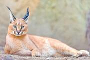 حیات وحش شیرکوه یزد زیستگاه امن گربهسانان ایرانی