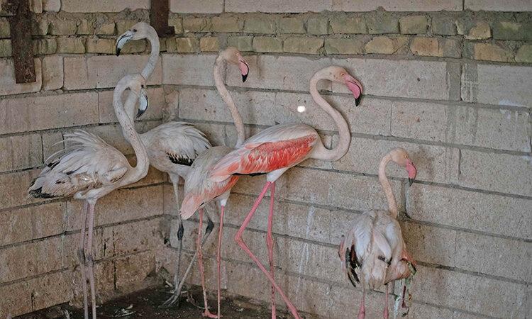 شكار و قاچاق فلامينگو در عراق