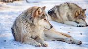 کشتار ۲۰۰ گرگ در کمتر از ۶۰ ساعت | شکارچیان در ویسکانسین آمریکا رکورد زدند