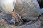 تصاویر | کهنسالترین پرنده وحشی تاریخ در ۷۰ سالگی مادر شد | سی و هشتمین جوجه ویزدم!