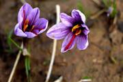 زعفران خراسان رضوی به ۶۷ کشور صادر میشود