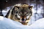 حمله گرگ گرسنه به یک دامداری در اسفراین