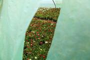 تصاویر | گلخانههای بجنورد در تدارک استقبال از بهار