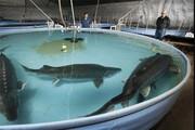 آغاز بهکار مزرعه مکانیزه پرورش ماهیان خاویاری در قم