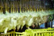 خوراندن تریاک به مرغ گوشتی کذب است