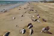 بار دیگر لاشه گربهماهیان در ساحل جاسک مشاهده شد