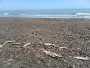 مرگ و میر ماهیان در دوسوی ساحل خزر