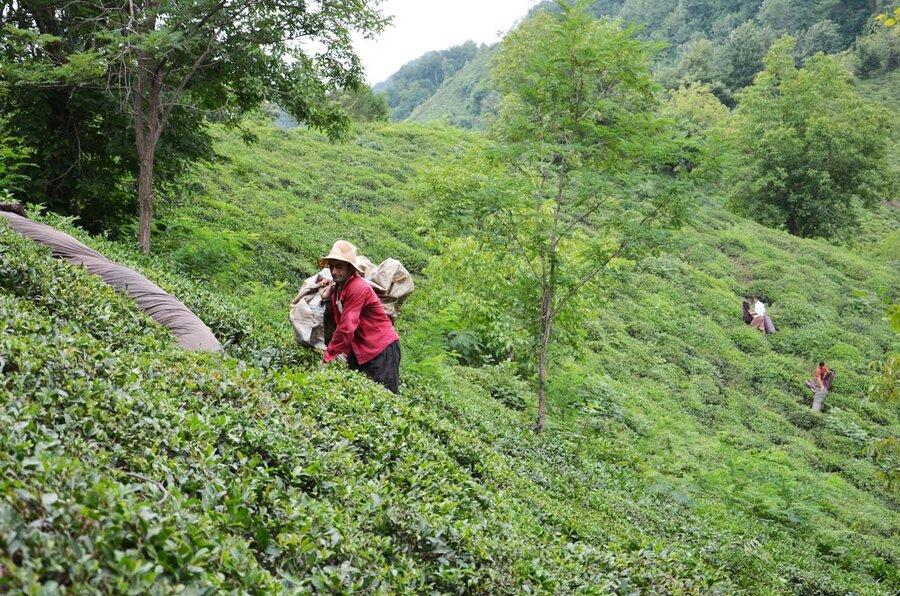 افزایش انگیزه چایکاران برای احیای چایباغهای شمال