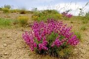 گونههای گیاهی آذربایجانغربی در خطر انقراض