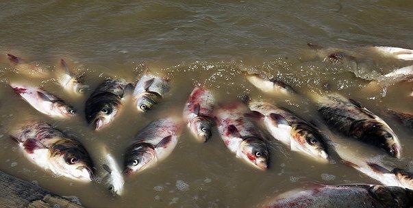ردپای پتروشیمی لردگان در مرگ ۲۷۰ تن ماهی
