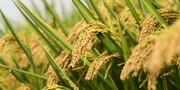 تولید بذر و کشت پایلوت «برنج کیان» در گیلان
